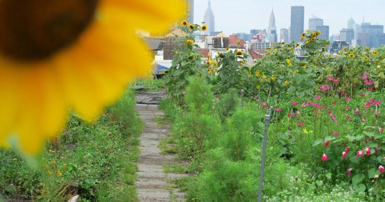 Farmy na dachu z widokiem na Manhattan